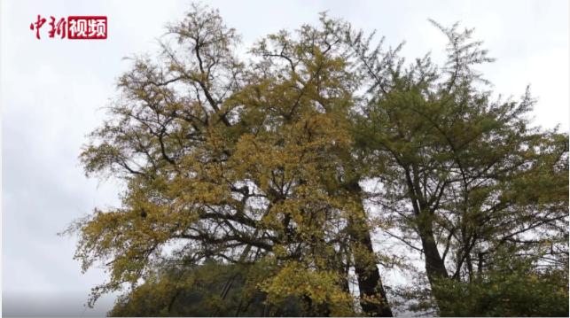 世界最古老银杏树遭雷劈后