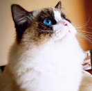 Meow布偶猫