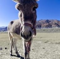 倔强的毛驴