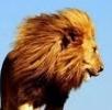 狮子大爷有脾气